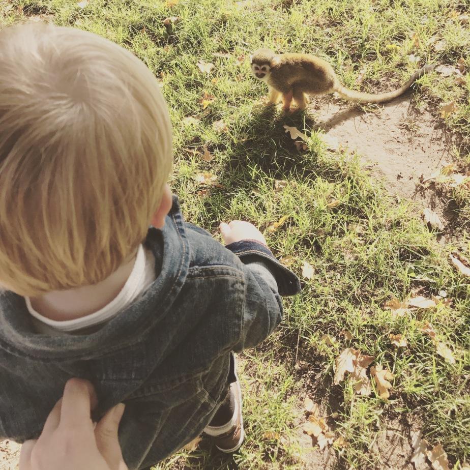 Woburn safari park monkey, toddler day out, family fun