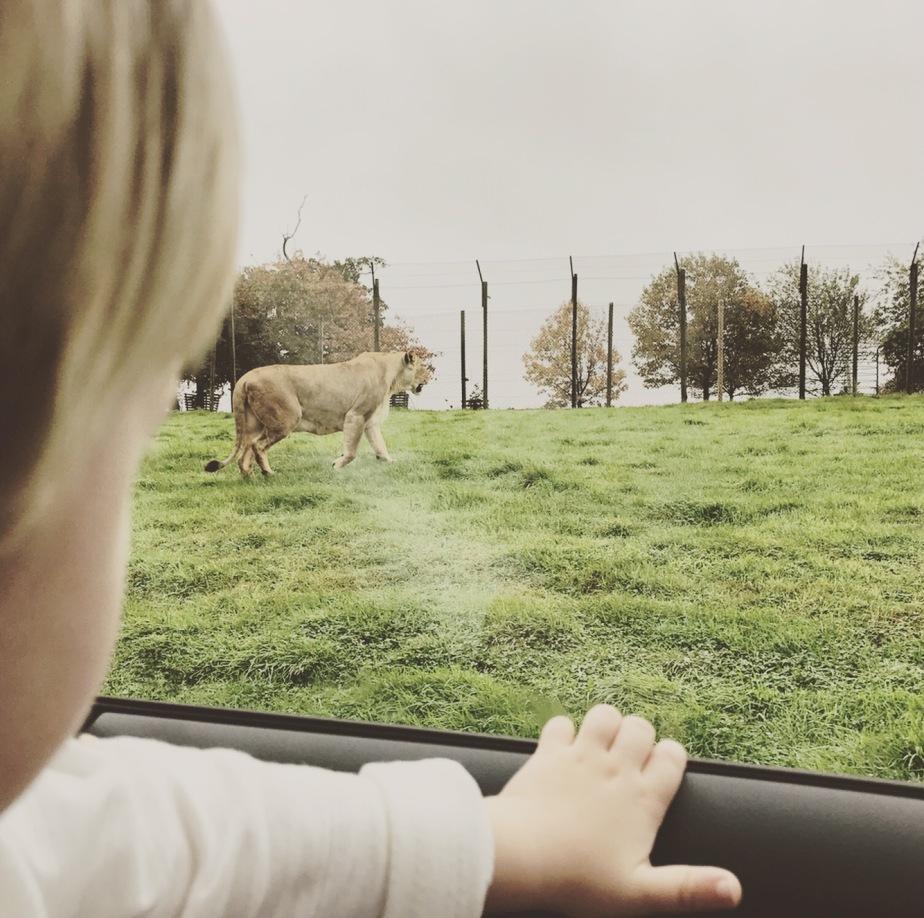 Woburn Road Safari lion enclosure, day out, Sunday funday